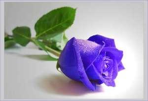 BLUE ROSE...SI IUBIREA IN STARE PURA.